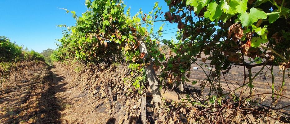 Vines destroyed by bushfires